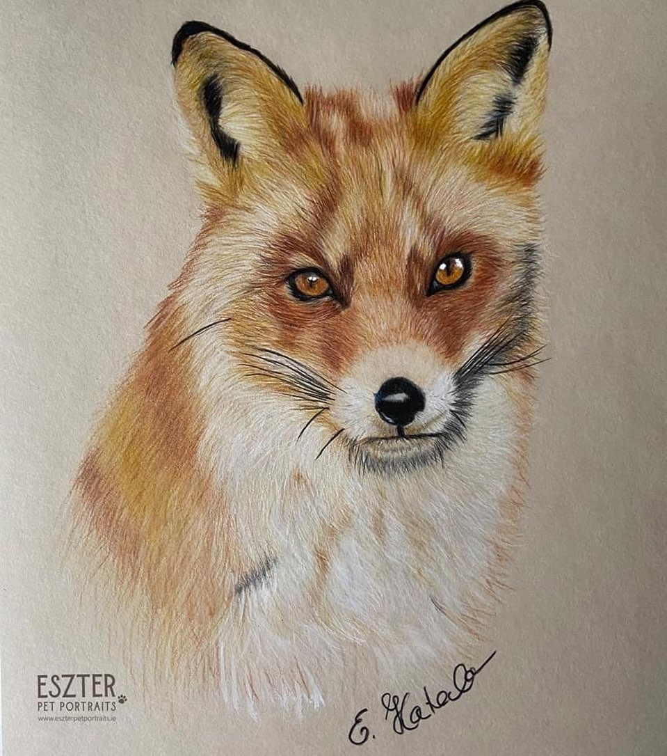 Fox colour pencil portrait Image