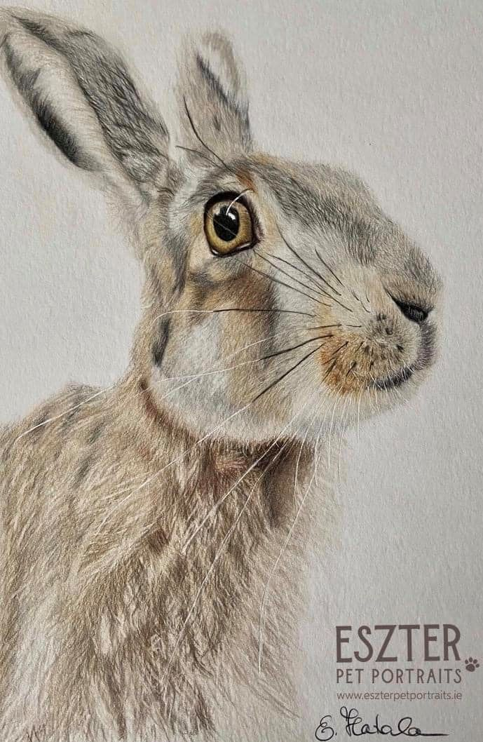 Hare's colour pencil portrait Image