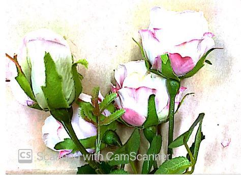 4  White & Pink Rose Buds on Stem Image